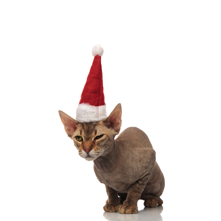funny seated metis cat with santa cap looks to side on white background