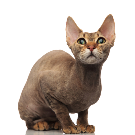 adorable grey metis cat sitting on white background