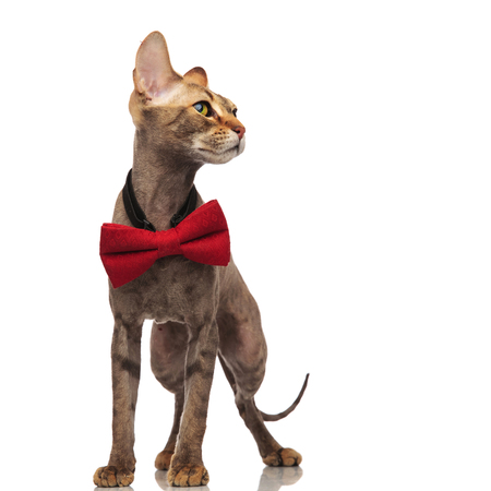 classy grey metis cat with red bowtie looks to side while standing on white background
