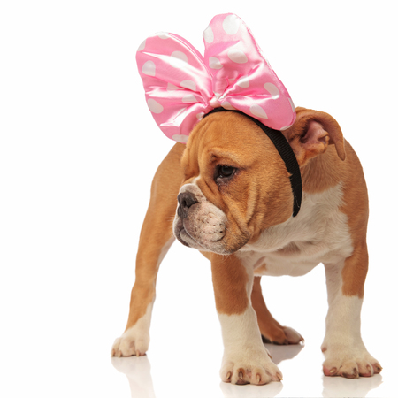 curious english bulldog puppy wearing a pink ribbon on head stands on white background and looks to side Stock Photo