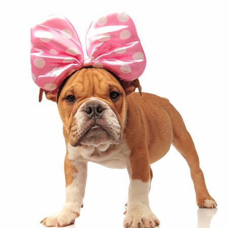 funny english bulldog pup with pink ribbon on head, standing on white background Stock Photo