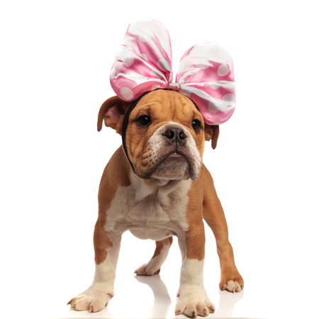 cute english bulldog with pink ribbon headband looks to side while standing on white background