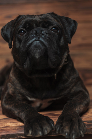 adorable black boxer relaxing while lying on wooden background