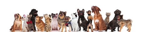 adorable team of dogs and cats of different breeds look up while standing, sitting and lying on white background. They are wearing colorful collars and red bowties