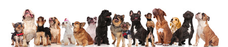 adorable group of many curious dogs of different breeds looking up while standing, sitting and lying on white background