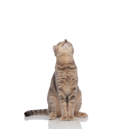 curious seated grey cat looks up on white background Stock Photo