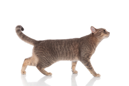 side view of curious grey cat walking on white background and looking up Standard-Bild
