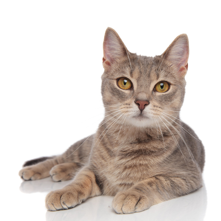 lovely grey metis cat with yellow eyes resting on white background Stock Photo