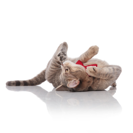 playful gentleman cat with red bowtie resting on its back on white background