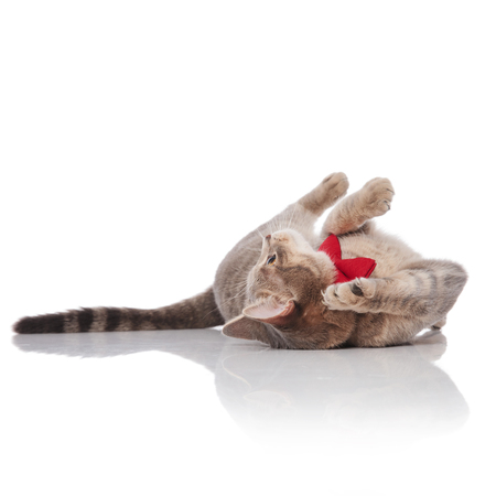 adorable grey cat wearing a red bowtie lying on its back on white background