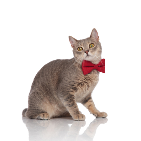 side view of classy metis cat with red bowtie standing on white background
