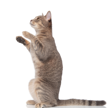 side view of cute metis cat standing on two legs on white background and looking to side