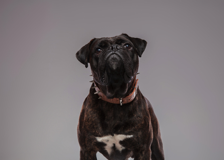close up of cute black boxer with spiked collar sitting on light grey background