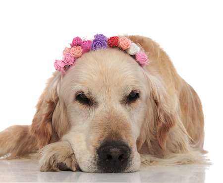 bored labrador with spring flowers crown lies on white background and looks to side 스톡 콘텐츠