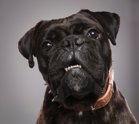 head of adorable black boxer wearing brown spiked collar standing on light grey background with mouth open