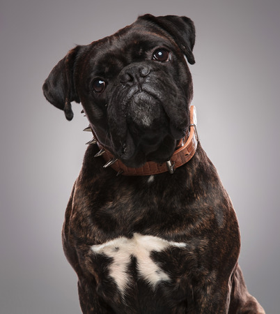 head of cute black bulldog wearing a spiked brown collar sitting on light grey background