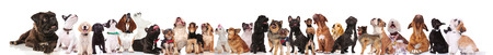 adorable large team of curious dogs standing and sitting on white background and looking up. They are wearing colorful collars and red bowties