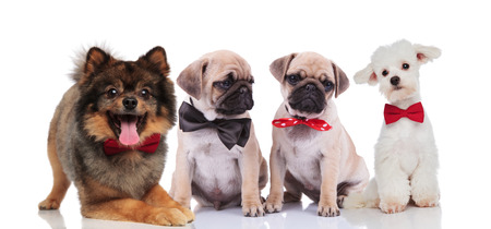 four cute and happy dogs of many breeds wearing bowties while sitting and lying on white background