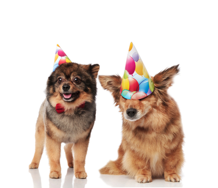 adorable dog couple wearing colorful birthday hats while standing and sitting on white background