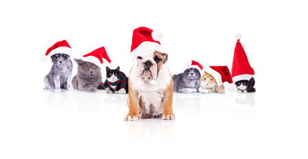 group of six adorable christmas cats with santa dog leader sitting in front on white background