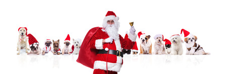 portrait of old santa claus ringing his bell in front of team of many christmas dogs on white background