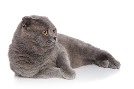 lovely grey cat resting on white background and looking to side Stock Photo