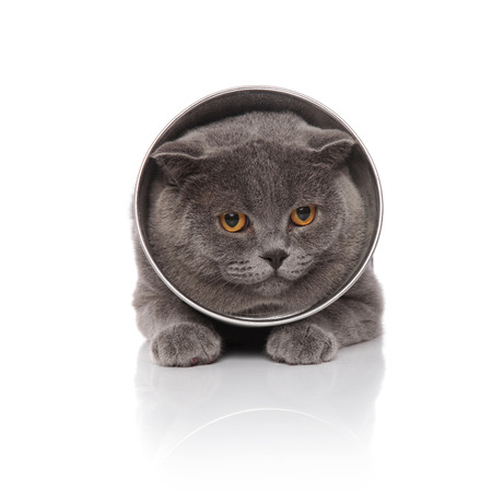 adorable scotish fold wearing a pet cone lying on white background Stock Photo