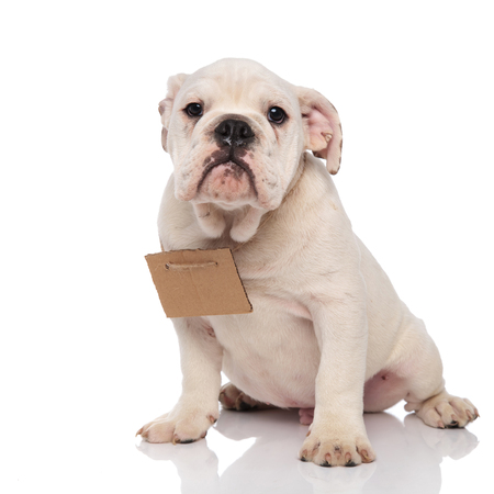 adorable white english bulldog wearing carton sign sitting on white background