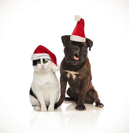 cute christmas couple of cat and dog wearing santa caps sitting on white background Stock Photo