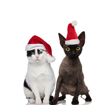 cute cat couple wearing santa costumes sitting and standing on white background Stock Photo