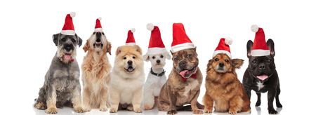 seven cute santa dogs of different breeds panting while sitting and standing on white background Stock Photo