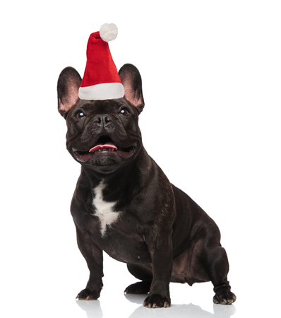 surprised santa french bulldog with tongue exposed looks up while standing on white background Stock Photo