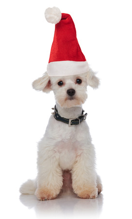 cute white bichon wearing a santa hat and black collar sitting on white background Stock Photo