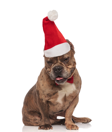 adorable american bully with santa hat looks down while sitting on white background and panting Stock fotó