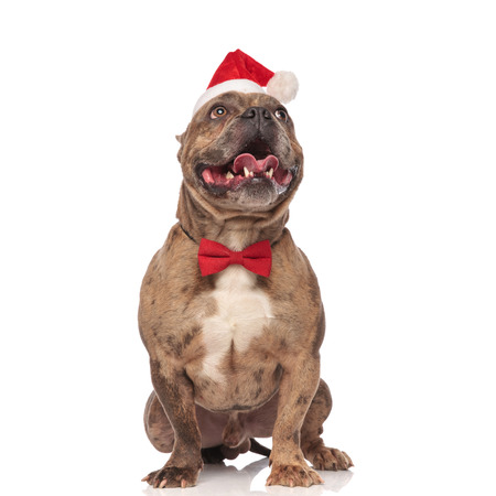 excited santa american bully with red bowtie looking up while standing on white background Stock Photo