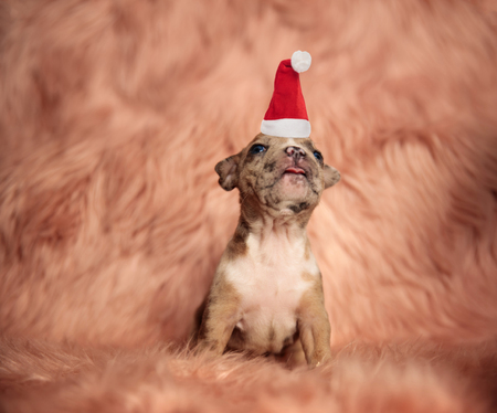 cute little santa puppy looks up while sitting on fur background Foto de archivo