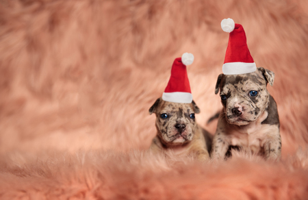 two little american bully pupies sitting on pink fur and wearing santa claus hats for christmas