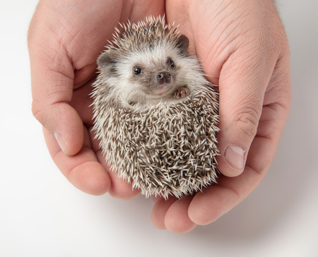 person holding cute african dwarf hedgehog in both hands on light grey background