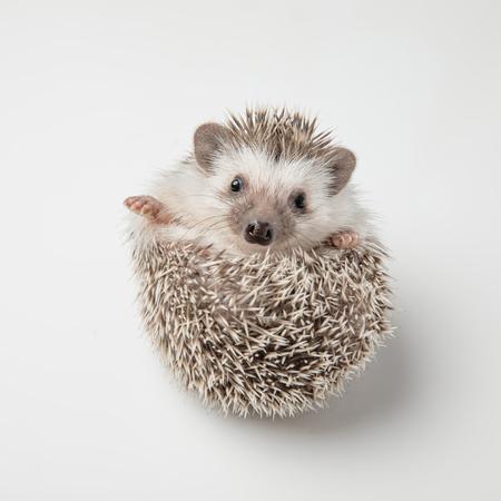adorable grey hedgehog with spike rests on back on white background Imagens
