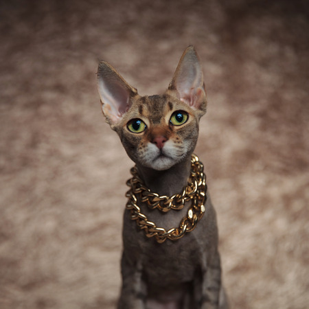 close up of cute grey cat wearing golden necklace sitting on brown fur background