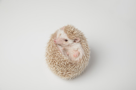 lovely white hedgehog resting on its back on white background looks to side Imagens