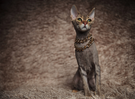 lovely whiskas cat wearing golden collar looks up to side while sitting on brown fur background