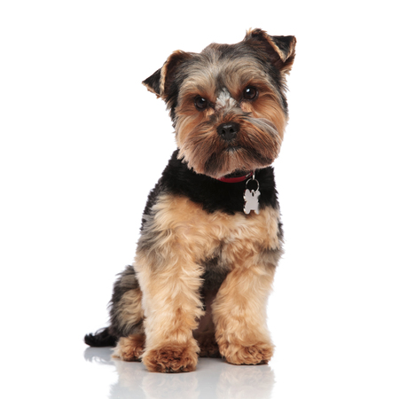 cute yorkshire terrier wearing red collar sits on white background looks down to side