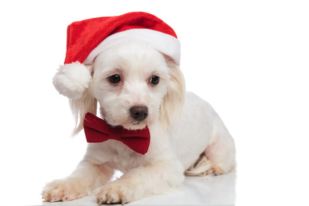 adorable santa bichon with red bowtie looks down to side while resting on white background