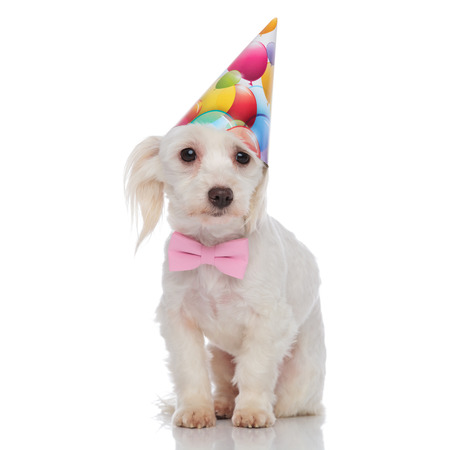 gentleman bichon with birthday hat stands on white background and looks to side Banque d'images