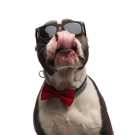 head of eager american bully with bowtie and sunglasses licking his nose while standing on white background