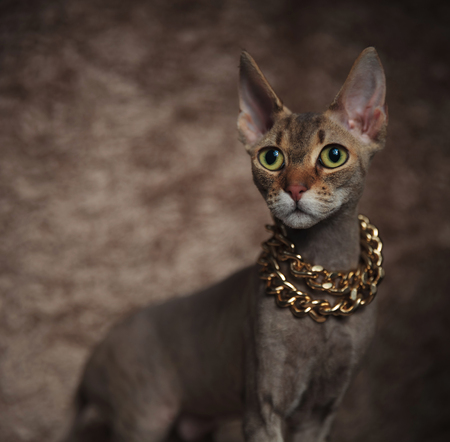 side view of adorable sphynx cat wearing golden chain standing on brown fur background, close up picture Stock Photo