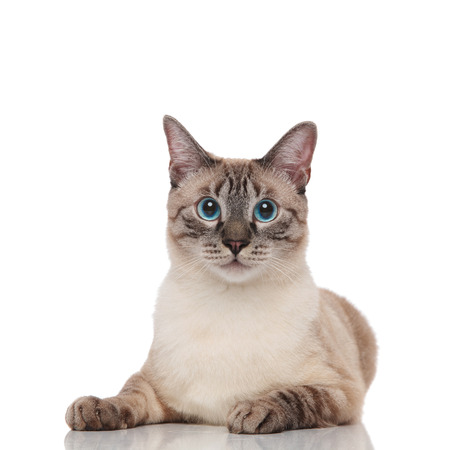lovely grey metis cat with grey eyes resting on white background