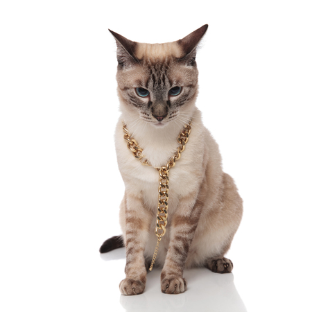 seated burmese cat wearing agolden chain necklace looks down on white background
