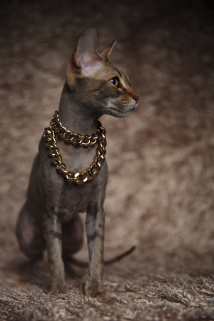adorable grey cat wearing gold collar looks to side while sitting on brown fur background